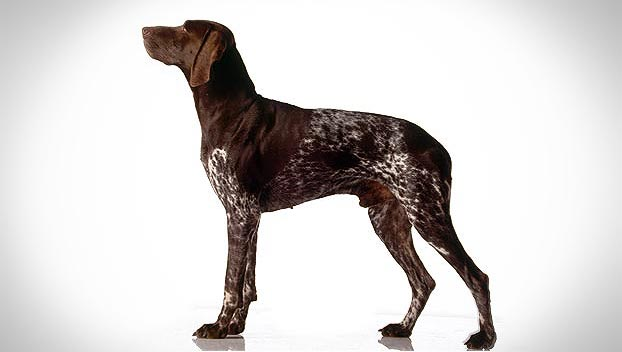 German Shorthaired Pointer_01_lg
