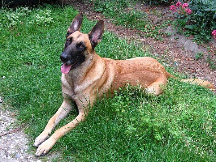 a belgian shepherd dog