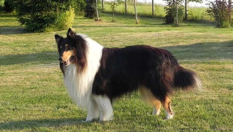 a large fluffy collie dog