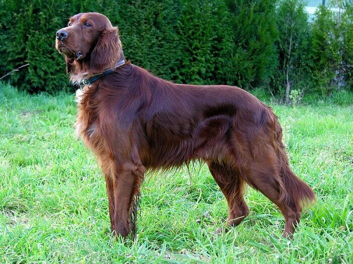 an irish setter dog