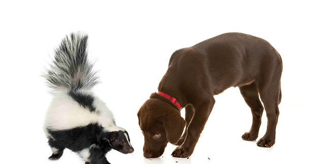 Effective-Skunk-Spray-Remedy-For-Dogs-In-Case-Your-Lab-Gets-Skunked