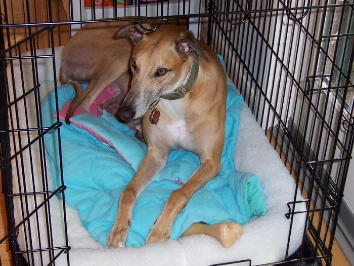 a large greyhound in his crate