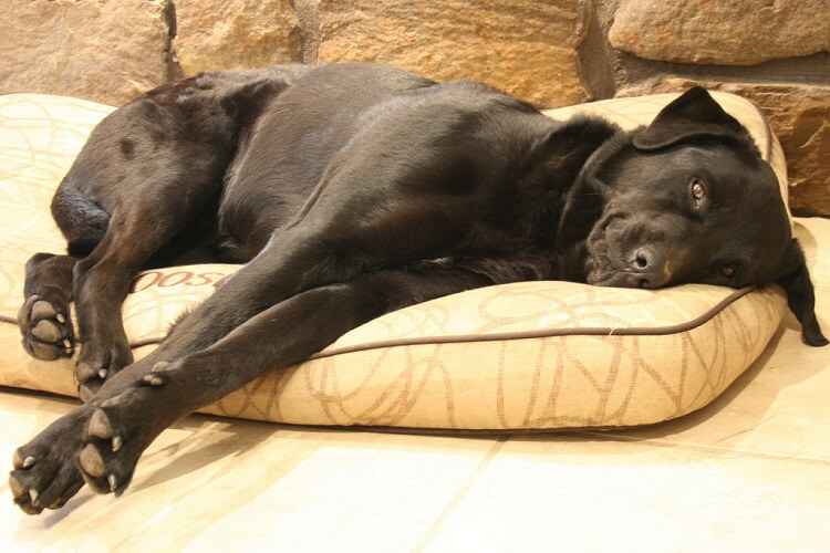 a large black dog laying down
