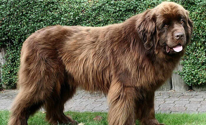a large brown dog