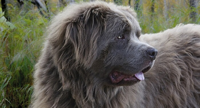 the head of a large gray Newfoundland dog