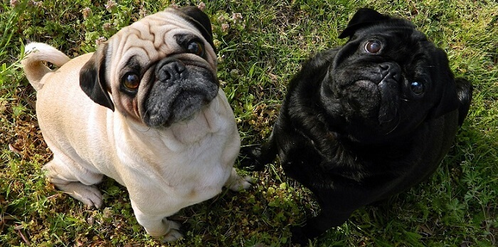 two cute little pugs