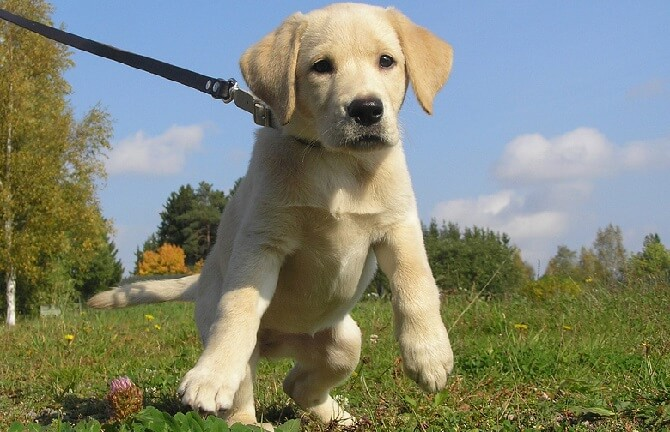 a small cute labrador puppy on a leash outdoors