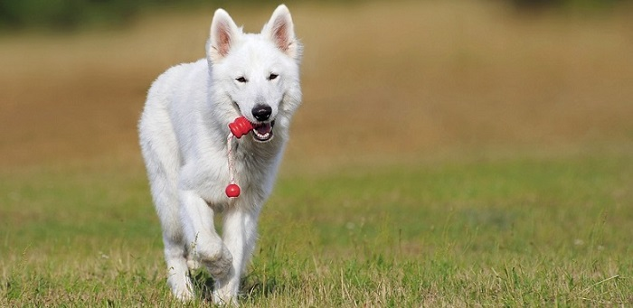 a beautiful white medium-sized dog running and playing with a toy