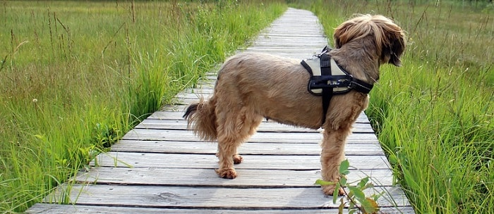 a small brown terrier dog on a wooden bridge