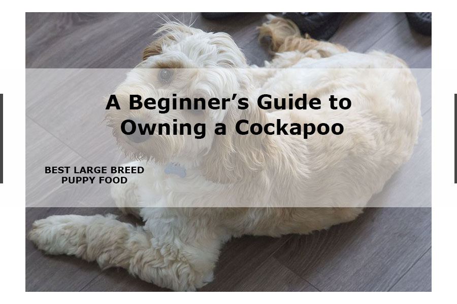 Cockapoo guide