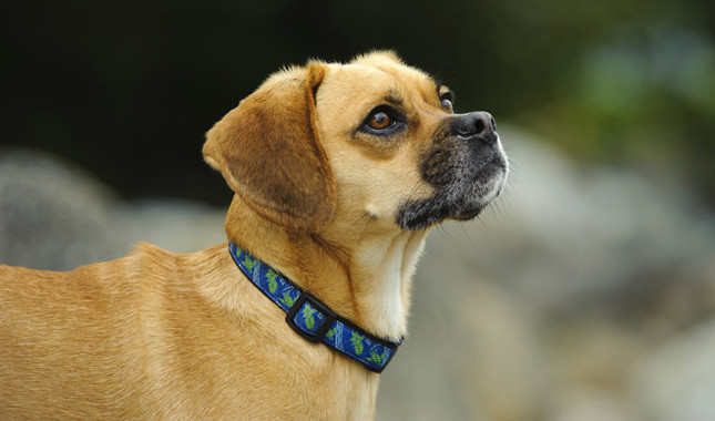 A Beginners Guide To Owning A Puggle One Of The