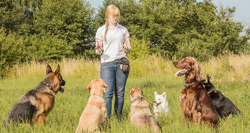woman teaching dogs to sit